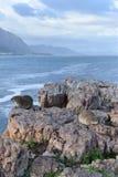 Piękna plaża w Hermanus siedzi na skale w Południowa Afryka z dwa ślicznymi dassies Fotografia Royalty Free