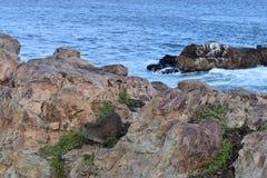 Piękna plaża w Hermanus z ślicznym dassie obsiadaniem na skale w Południowa Afryka Obrazy Royalty Free
