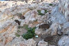Piękna plaża w Hermanus z ślicznym dassie obsiadaniem na skale w Południowa Afryka Fotografia Royalty Free