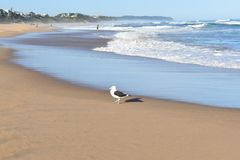 Piękna plaża z seagull w przodzie w pustkowiu na pogodnym letnim dniu w Południowa Afryka Zdjęcia Stock