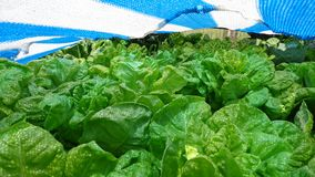 Piękna plantacja sałaty jeść obrazy stock