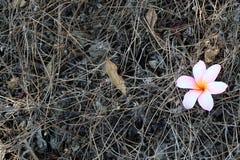 Piękna Plumeria Różowi Frangipanis Spada na ziemi fotografia stock