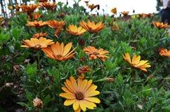Piękna pomarańcze kwitnie kwitnienie w ogródach botanicznych obraz stock