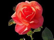Piękna pomarańcze róża zdjęcia royalty free