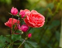 Piękna pomarańcze róża w ogródzie Fotografia Royalty Free