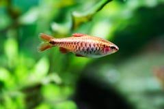 Piękna pomarańcze ryba na miękkiej części zieleni tle Barbet pływa tropikalnego słodkowodnego akwarium zbiornika Puntius titteya fotografia stock