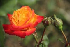 Piękna pomarańczowego koloru żółtego róża w ogródzie Zdjęcia Stock