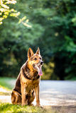 piękna psia niemiecka baca Zdjęcia Stock