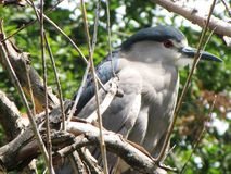 Piękna ptasia pozycja na gałąź drzewo Zdjęcie Royalty Free