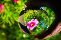 Piękna purpura kosmosu bipinnatus kwiatu fotografia przy ogródem botanicznym w jasnej krystalicznej szklanej piłce Obrazy Stock