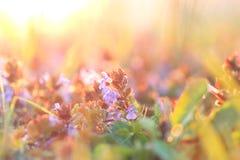 Piękna purpurowa łąka kwitnie w Marzec Obrazy Royalty Free