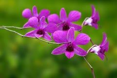 Piękna purpurowa księżyc orchidea na zielonym tle zdjęcie stock
