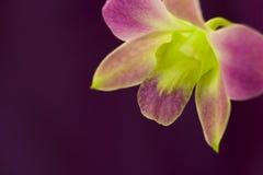 Piękna purpurowa orchidea Obrazy Royalty Free