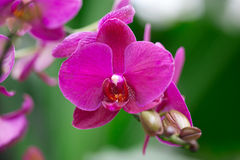Piękna purpurowa orchidea - phalaenopsis Zdjęcia Royalty Free