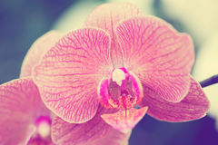Piękna purpurowa orchidea - phalaenopsis Fotografia Royalty Free