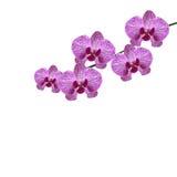 Piękna purpurowa realistyczna orchidea kwitnie na gałąź pojedynczy białe tło ilustracja royalty ilustracja