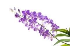 Piękna purpurowa storczykowa kwiat gałąź odizolowywająca na bielu Zdjęcie Stock