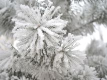 Piękna puszysta sosny gałąź zakrywająca z bielu mrozem w zima lesie na mroźnym dniu obraz stock