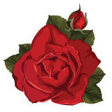 Piękna róża odizolowywająca na bielu czerwona róża Fotografia Royalty Free