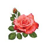 Piękna róża odizolowywająca na bielu czerwona róża Doskonalić dla tło kartka z pozdrowieniami i zaproszeń ślub, urodziny, Wartośc Obrazy Royalty Free