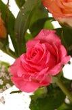 piękna różową różę Fotografia Royalty Free