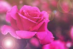 piękna różową różę Zdjęcie Royalty Free