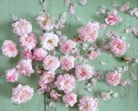 piękna różową różę Zdjęcie Stock