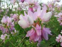 Piękna różowa dzika ptasia wyka, zamyka up Zdjęcia Stock