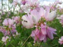 Piękna różowa dzika ptasia wyka, zamyka up Zdjęcia Royalty Free