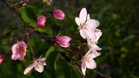 Piękna różowa kwitnie jabłoń na wiatrowej wiośnie w ogródzie Statyczna kamera zbiory