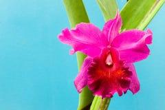 Piękna różowa orchidea na błękicie Obraz Stock