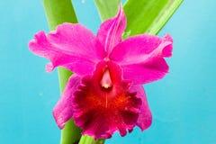 Piękna różowa orchidea na błękicie Obraz Royalty Free