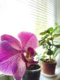 Piękna różowa orchidea na nadokiennym parapecie zamazujący tło obrazy royalty free