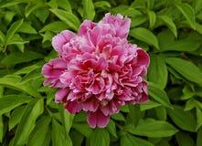 Piękna różowa peonia w ogródzie Fotografia Royalty Free