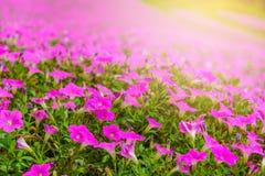 Piękna Różowa petunia kwitnie petuni hybrida w ogródzie W lecie z s?onecznym dniem zdjęcie royalty free