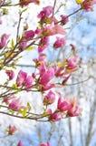 Piękna różowa wiosny magnolia kwitnie na gałąź obraz royalty free