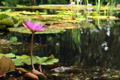 Piękna Różowa Wodna leluja 2 Fotografia Stock