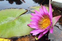 Piękna Różowa Wodna leluja Zdjęcie Royalty Free