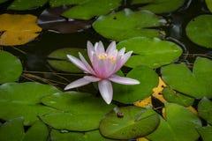 Piękna różowa wodna leluja Marliacea Rosea lub lotosowy kwiat na tle jesień śmieci z igłami, zielenią i żółtym urlopem, obraz royalty free