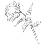 Piękna ręka rysujący nakreślenie wzrastał, odizolowywał, czarnego contur na białym tle Botaniczna sylwetka kwiat Obraz Royalty Free