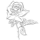 Piękna ręka rysujący nakreślenie wzrastał, odizolowywał, czarnego contur na białym tle Botaniczna sylwetka kwiat Zdjęcia Royalty Free