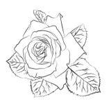 Piękna ręka rysujący nakreślenie wzrastał, odizolowywał, czarnego contur na białym tle Botaniczna sylwetka kwiat Obraz Stock
