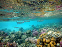 Piękna rafa koralowa z gromadzi się ryba Zdjęcie Royalty Free