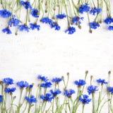 Piękna rama Błękitny knapweed kwitnie na białym tle Zdjęcia Royalty Free
