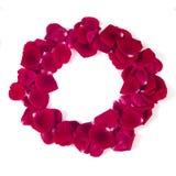 Piękna rama czerwieni róży płatki odizolowywający na bielu Obraz Stock