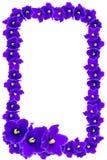 Piękna rama purpurowi fiołki na białym tle Obrazy Stock