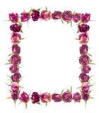 Piękna rama wysuszeni menchii róży kwiaty odizolowywa na bielu Obrazy Stock