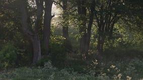 Piękna ranek sceneria w lesie z słońca słońca rzuconymi promieniami światło przez gałąź i mgły, zbiory