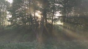 Piękna ranek sceneria w lesie z słońca słońca rzuconymi promieniami światło przez gałąź i mgły, zbiory wideo