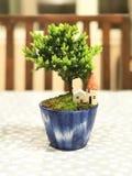 Piękna real miniatury sosna lub karzeł sosna dla domowej dekoraci Obraz Stock